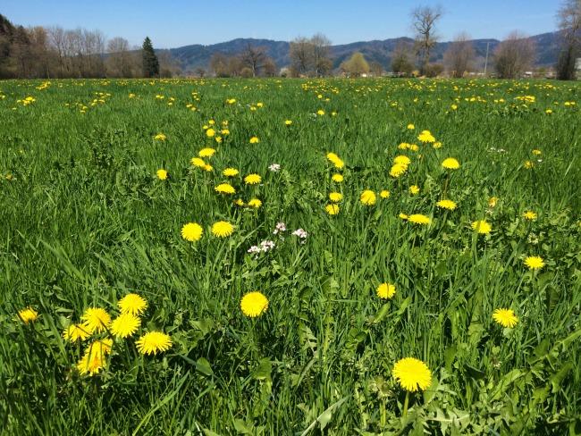 Wildflowers in Freiburg